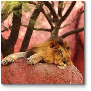 Африканский лев отдыхает