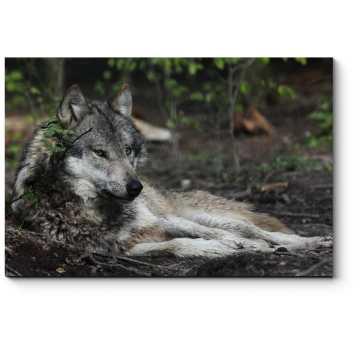 Волк отдыхает в лесу