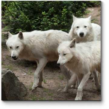 Полярные волки