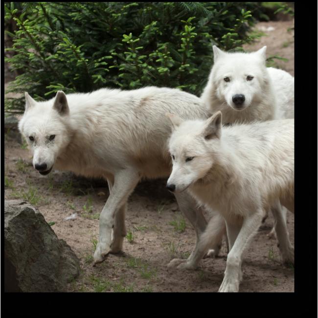 Модульная картина Полярные волки