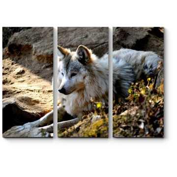 Модульная картина Гималайский волк