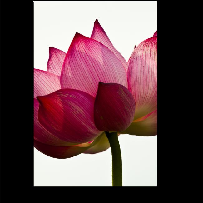 Модульная картина Розовый цветок лотоса