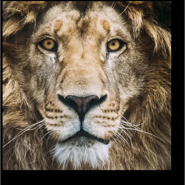 Модульная картина Мечтательный лев