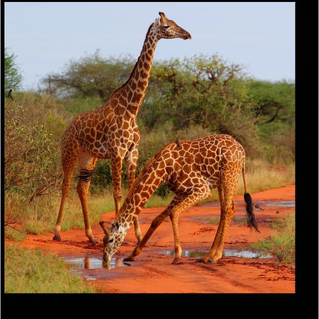 Модульная картина Жирафы в Саванне