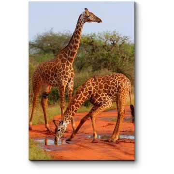Жирафы в Саванне