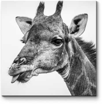 Жираф показывает язык