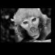 Портрет харизматичной обезьянки