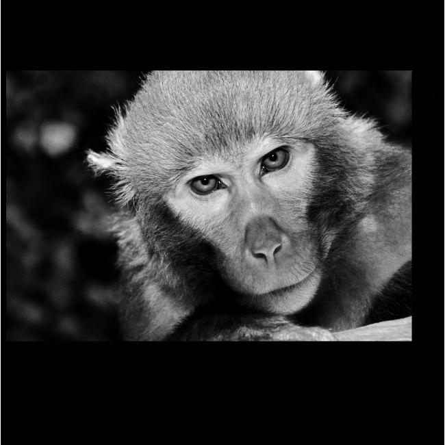 Модульная картина Портрет харизматичной обезьянки