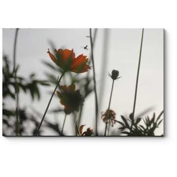 Цветы космеи в вечернем свете