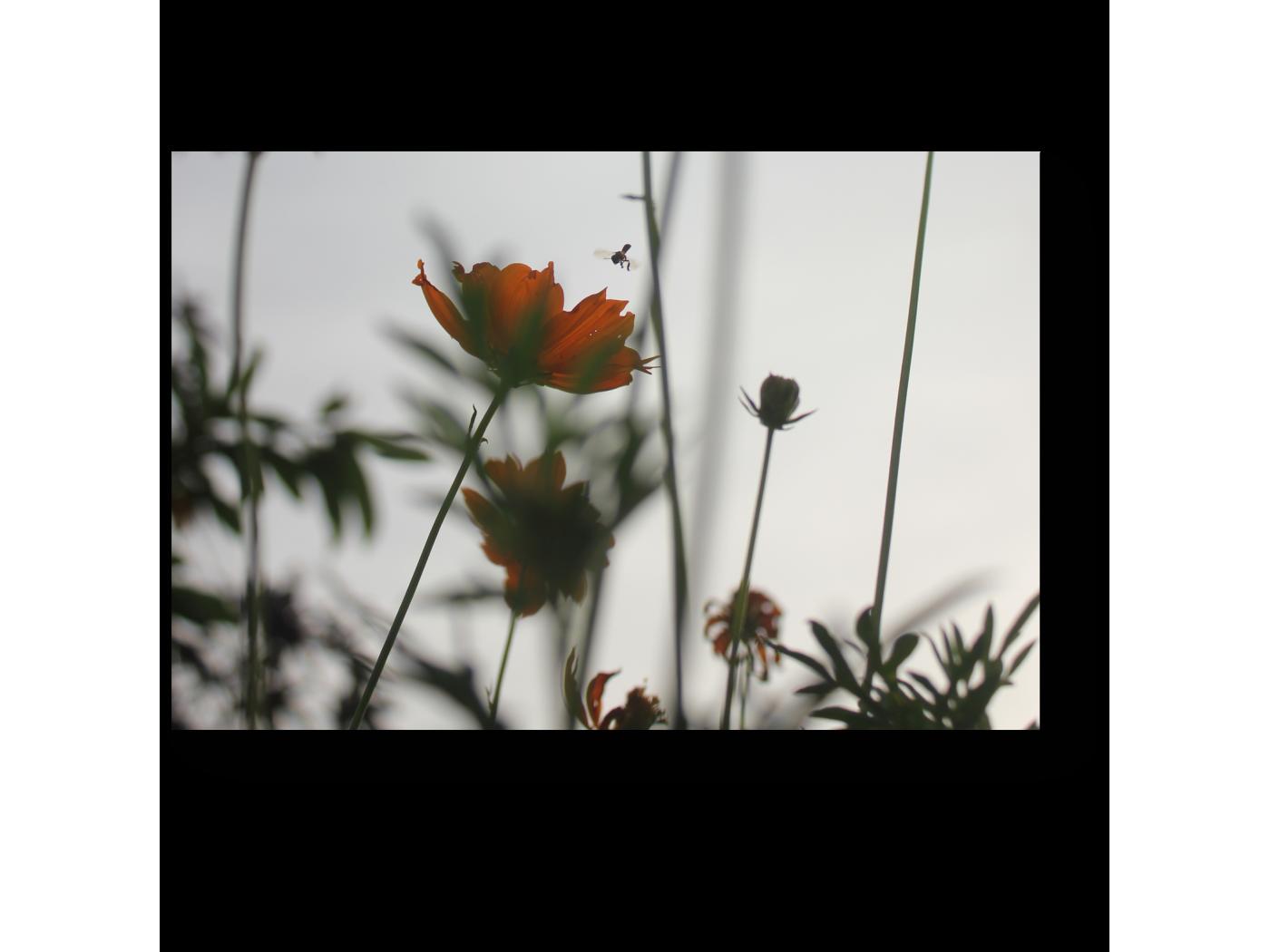 Модульная картина Цветы космеи в вечернем свете (30x20) фото