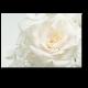 Белоснежная роза