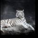 Величественный белый тигр