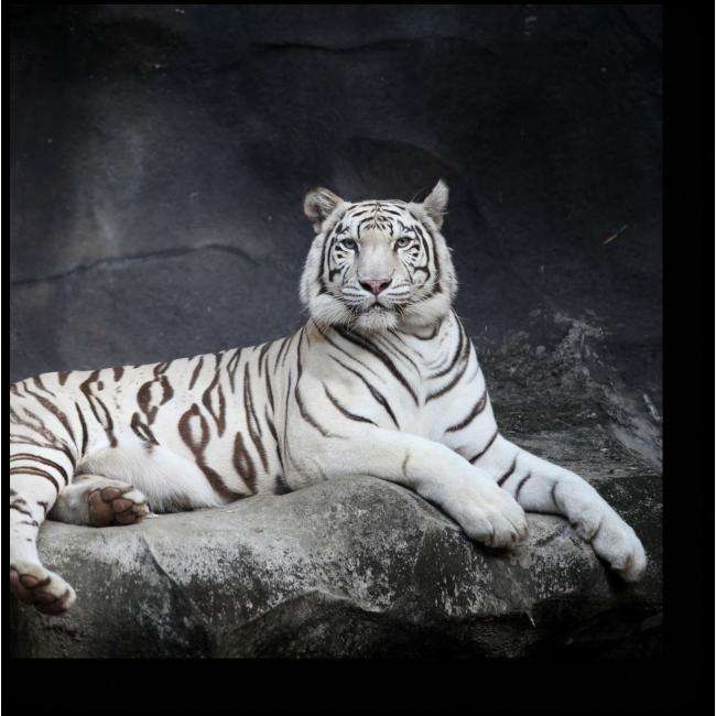 Модульная картина Величественный белый тигр
