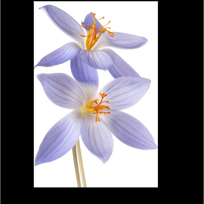 Модульная картина Нежно-фиолетовый крокус