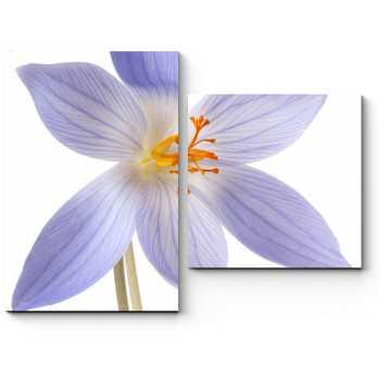 Нежно-фиолетовый крокус