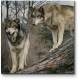 Волки в осеннем лесу