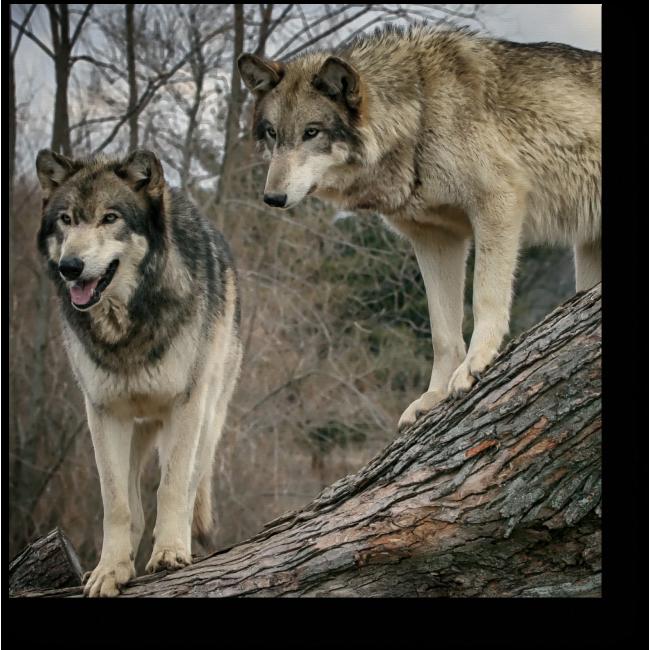 Модульная картина Волки в осеннем лесу