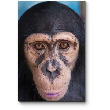 Модульная картина Очаровательный шимпанзе