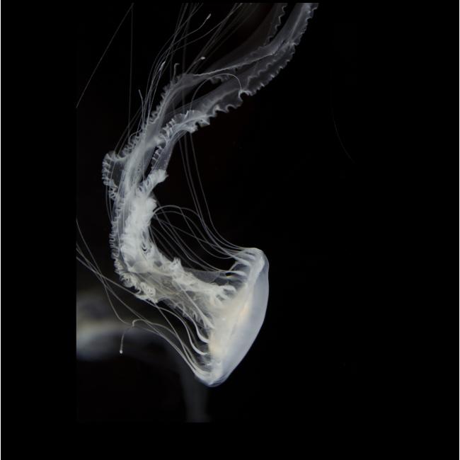 Модульная картина Белая медуза