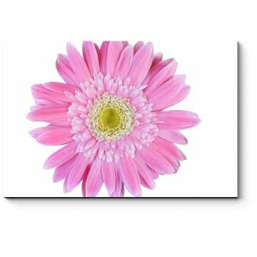 Ярко-розовая гербера