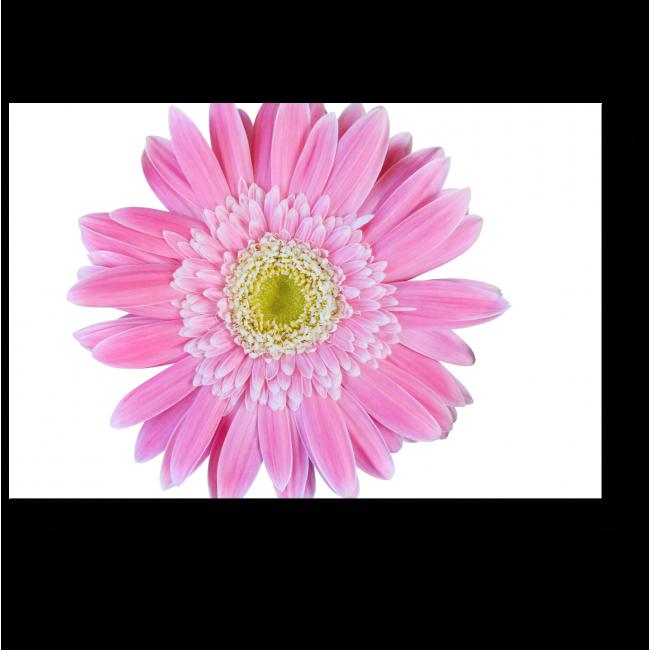 Модульная картина Ярко-розовая гербера