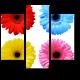 Цветовое разнообразие, герберы