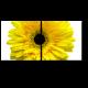 Солнечная гербера