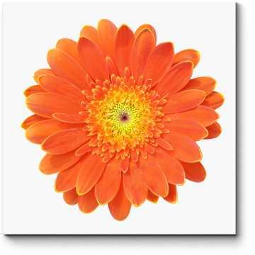 Огненно-оранжевая гербера