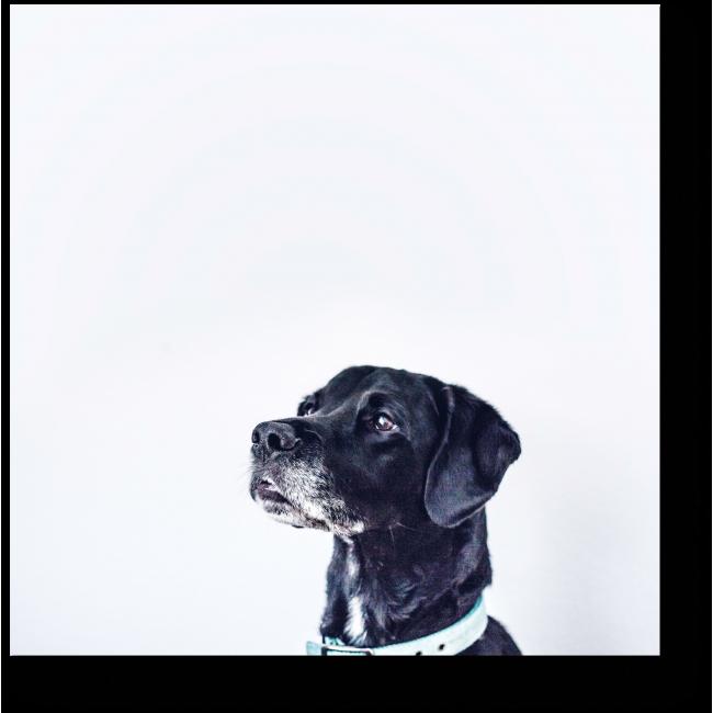 Модульная картина Гордый пес