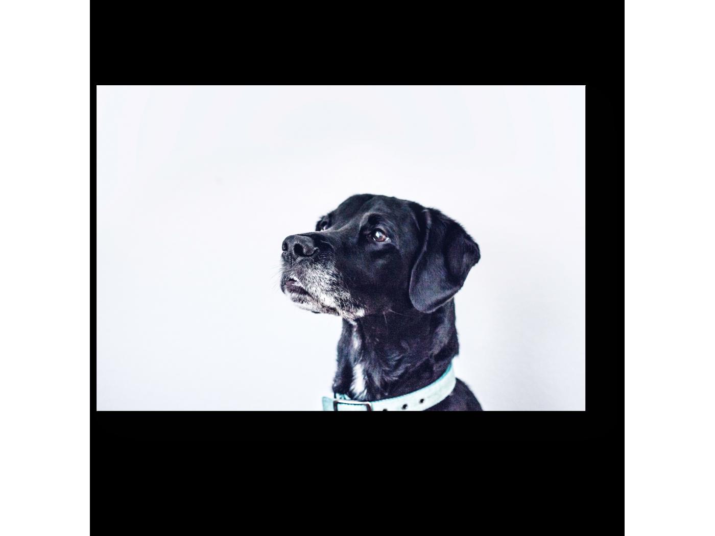Модульная картина Гордый пес (30x20) фото