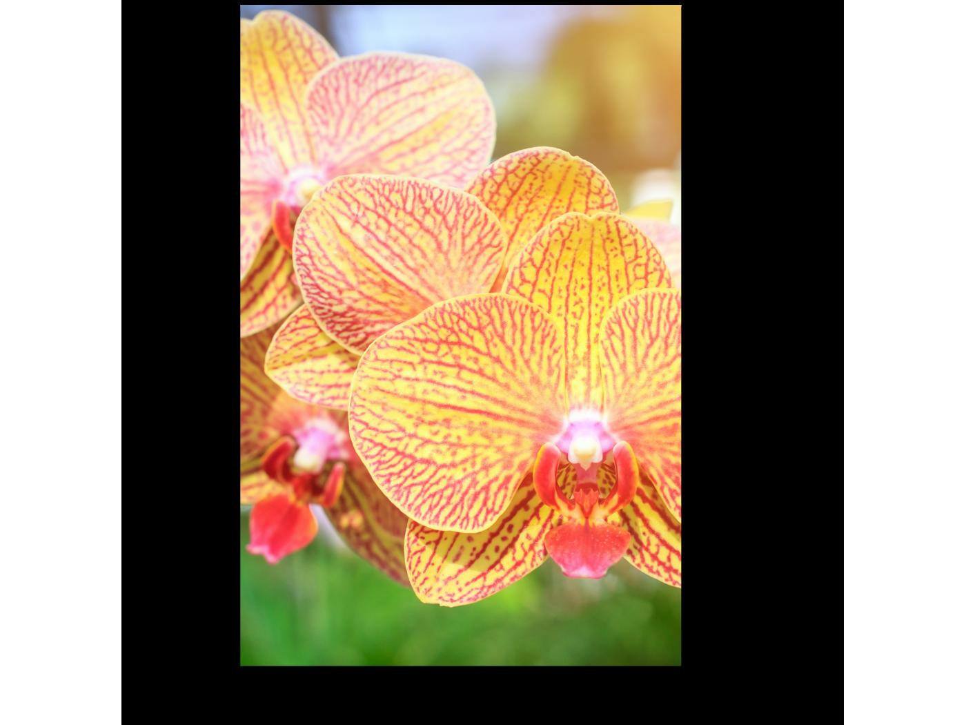 Модульная картина Тайская орхидея (20x30) фото