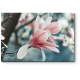 Нежные цветы магнолии