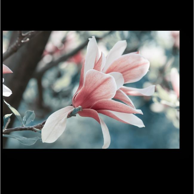Модульная картина Нежные цветы магнолии