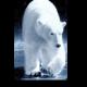 Белый полярный красавец