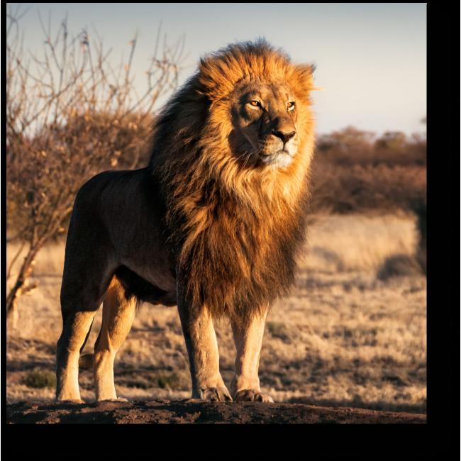 Модульная картина Одинокий лев