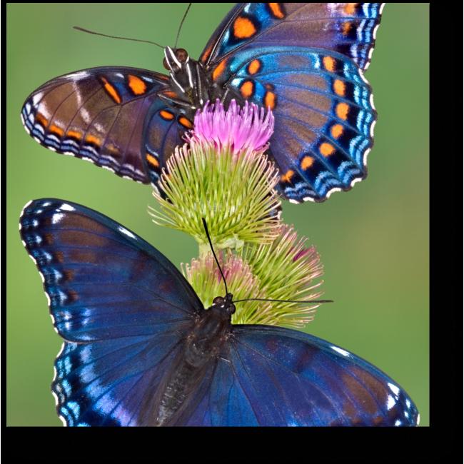 Модульная картина Чарующие бабочки на цветке