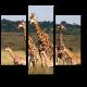 Большая семья жирафов