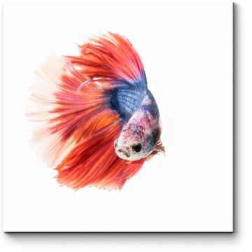 Красно-синяя рыбка