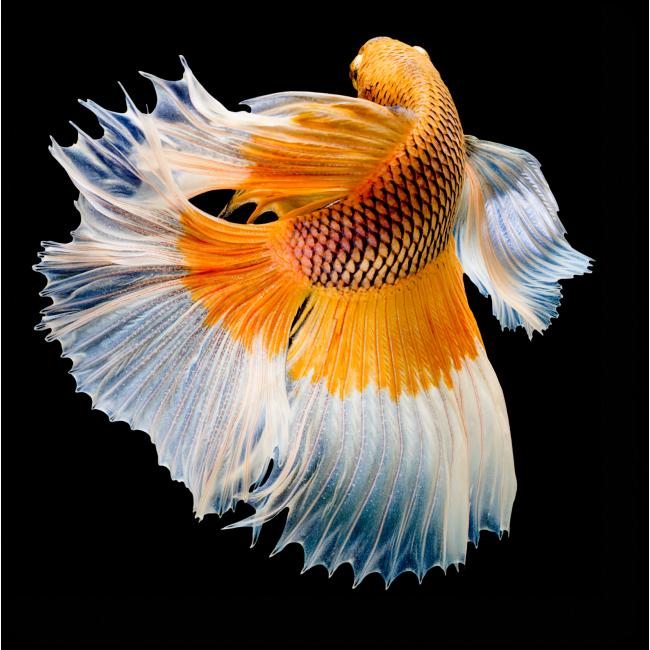 Модульная картина Золотая рыбка