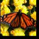 Красивая бабочка на желтых цветах