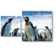 Любопытные пингвины