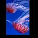 Чудесные медузы