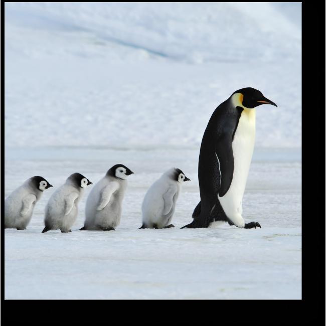 Модульная картина Семейство пингвинов на прогулке