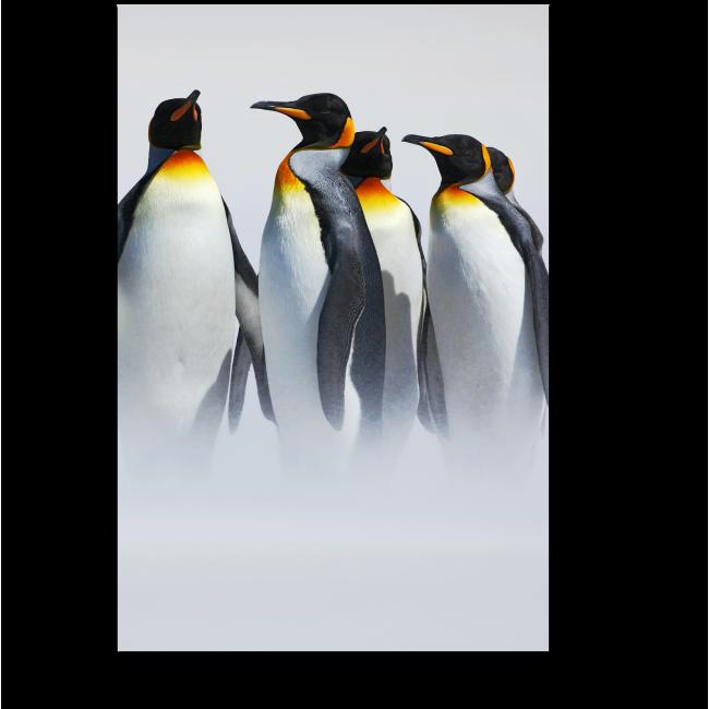 Модульная картина Королевские пингвины гуляют