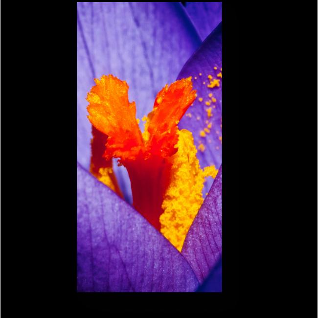 Модульная картина Яркие цвета крокуса