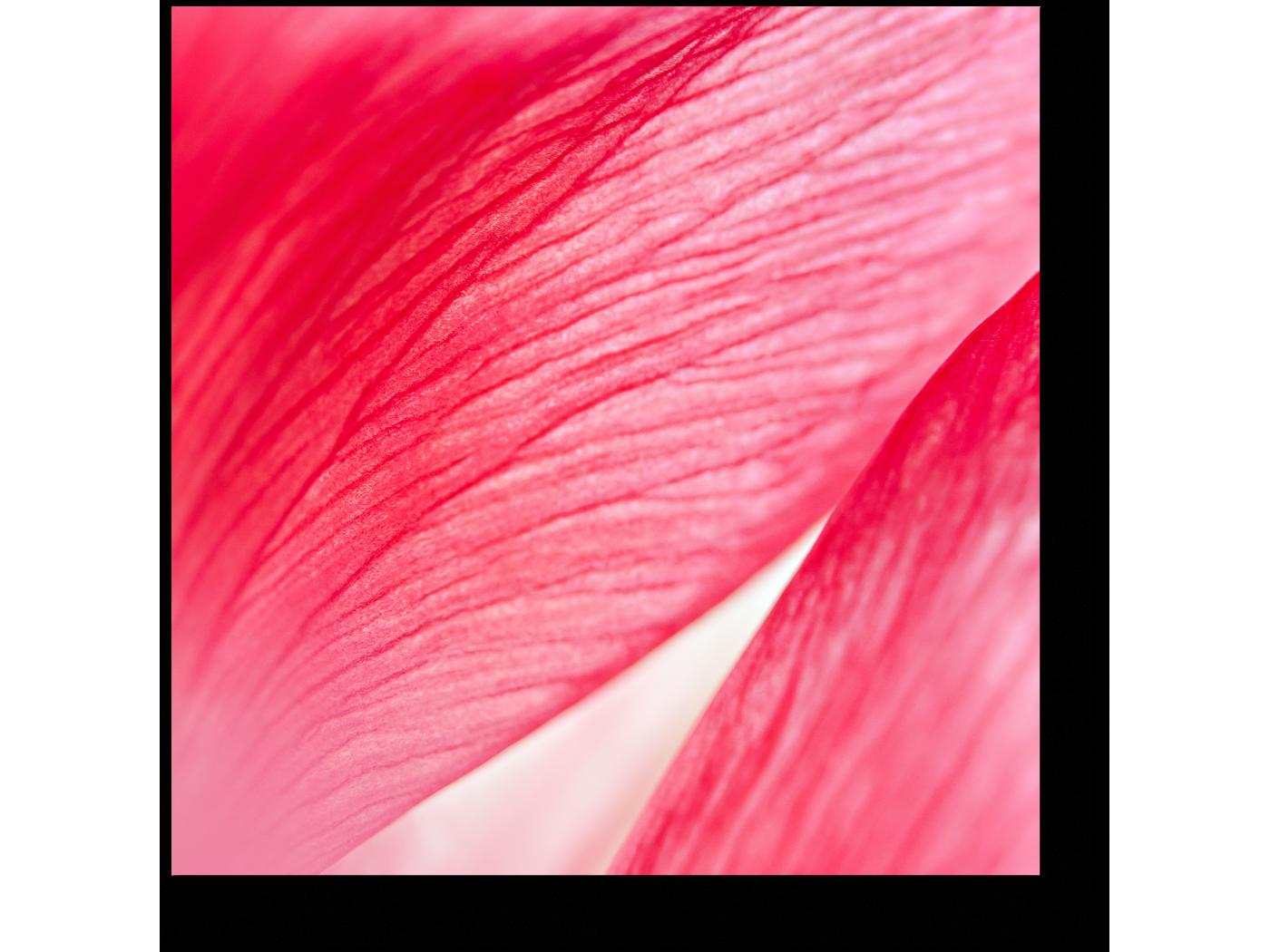 Модульная картина Аромат розы (20x20) фото