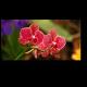 Невероятно красивая тропическая орхидея